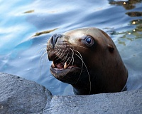Photo Credit: COURTESY OF CARLI DAVIDSON, THE OREGON ZOO - Gus, a Steller sea lion at the Oregon Zoo, was known gentle demeanor. At 27, he was thought to be the oldest Steller sea lion in the world.