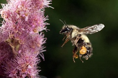 TRIBUNE FILE PHOTO - Experts worry that some pesticides could harm pollinators, like honey bees, that are vital to Oregon's crops. Several bills in the Legislature take aim at pesticides and their use.