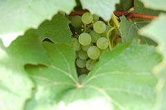 PHOTO BY: R.E. PENNINGTON - Mertie Stevens Concord grapevine is still highly productive a half-century after her death. Note the waxy bloom, on the grapes, containing ambient yeast, prized in fermenting homemade and European wines of old.