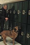 ESTACADA NEWS PHOTO: ISABEL GAUTSCHI - Sgt. Brad ONeil and partner Nero, a 10-year-old Belgian Malinois, patrol Estacada High School looking for illegal substances on Monday, April 13.