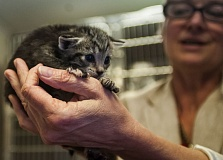 OUTLOOK PHOTO: JOSH KULLA - This frightened kitten is the beneficiary of Multnomah County's Kitten Triage Unit, which is raising money through crowdfunding for future operations.