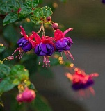 COURTESY PHOTO: LYNN KETCHUM - A hanging basket filled with fuchsias is perfect for the shade.