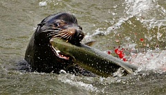 FILE PHOTO: L.E. BASKOW  - Sea lions have learned to follow salmon to the base of Bonneville Dam, where they are easy prey. That causes conflicts between fishers and animal rights groups.