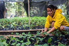 PHOTO BY CHELSEA CALL, COURTESY OF HEALTH AND HARMONY  - An employee of Alam Sehat Lestari works on reforestration of Gunung Palung National Park, on the island of Borneo in Indonesia.