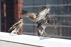 PHOTO BY BOB SALLINGER, COURTESY OF AUDUBON SOCIETY OF PORTLAND - Three red-tailed hawks learn to fly from the Portland Building downtown.
