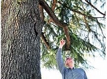 GARY ALLEN - Good point - A number of factors should be examined to determine whether a tree is diseased, Newberg City Councilor and former certified arborist Scott Essin explains, offering some insight into the proposed felling of a deodar cedar in downtown Newberg.