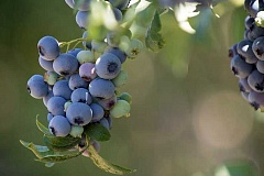 COURTESY PHOTO: LYNN KETCHUM - Healthy, sweet blueberries are a favorite in Pacific Northwest gardens.