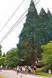 DAVID F. ASHTON - Eastmoreland neighbors hope to stop the felling of these three giant sequoia trees, each estimated to be 150 years old.