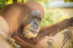 COURTESY OF MICHAEL DURHAM/OREGON ZOO - At 55, Inji is the oldest Sumatran orangutan on the continent and easily one of the very oldest on the planet.