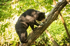 PHOTO BY MICHAEL DURHAM, COURTESY OF OREGON ZOO - Vivian, a Malayan sun bear, climbs a log at the Oregon Zoo. Sun bears are one of many species threatened by deforestation to make way for palm oil plantations.