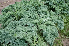 SUBMITTED PHOTO: FLICKR, DALE SIPLER - When the summer vegetable crop is done, extend the season with a planting of kale.