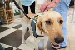 PAMPLIN MEDIA GROUP FILE PHOTO - Limerick, a 2-year-old golden retriever/labrador mix, is training for Guide Dogs for the Blind. Canines. A national survey found that most people say their dogs provide them comfort and stability.
