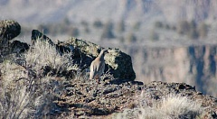 SCOTT STAATS SPECIAL TO THE CENTRAL OREGONIAN - A chukar looks over the side of a rim mocking a hunter far below.