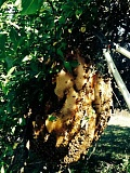COURTESY PHOTO: TERESA KOHL - Its unusual to find a beehive in such an exposed site. Bees are more likely to hunt for hollows in the trunks of trees than hang off the branches.