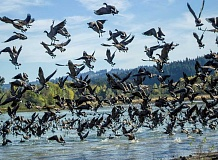 NEWS-TIMES PHOTO: TRAVIS LOOSE - Since August, tens of thousands of cackling geese have descended--and ascended, as shown here--to and from Fernhill Wetlands on the edge of Forest Grove. They are migrating south to Mexico from Alaska, according to Clean Water Services Reuse Manager Jared Kinnear.