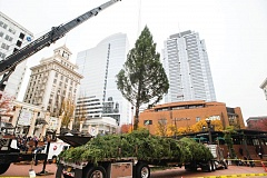 TRIBUNE FILE PHOTO - A 75-foot Douglas fir provided by Stimson Lumber Co., will be Portland's Christmas Tree. The tree was lifted into Pioneer Courthouse Square in mid-November. A ceremony Friday afternoon will light the tree.