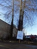 GAZETTE PHOTO: RAY PITZ - These three trees (actually four because one has a double leader with two dominant stems growing out of it) are slated to be removed from a parking lot next to Symposium Coffee shortly after the new year.