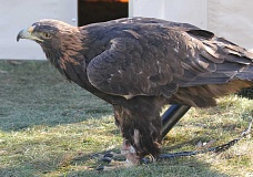 HOLLY M. GILL - Aquila, a blind golden eagle, is alert for visitors at last year's Eagle Watch celebration at Round Butte Overlook Park. This year's event will be held Feb. 27-28.