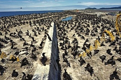 PHOTO COURTESY AUDUBON SOCIETY - The nesting colony of double-crested cormorants on East Sand Island has been decimated, and environmental groups blame federal attacks on the birds in their effort to protect migrating salmon the birds feed upon.