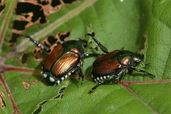PHOTO COURTESY OF THE MINNESOTA DEPARTMENT OF AGRICULTURE - Japanese beetles have been wreaking havoc on plants elsewhere in the United States for decades, but a localized infestation in Cedar Mill has taken the Oregon Department of Agriculture by surprise.