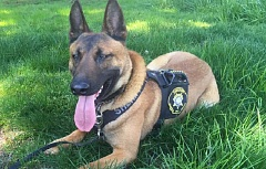 SUBMITTED PHOTO - Radar, a 2-year-old Belgian Malinois, went missing on Wednesdya and was found unharmed near Manning early Thursday morning.