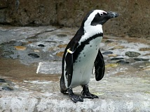 COURTESY - The African penguin is endangered in part due to lack of guano, or bat excrement, for it to use to build its nests. The Oregon Zoo is getting involved with a Kickstarter campaign to build artificial nests for the penguins.
