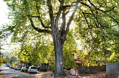 DAVID F. ASHTON - This Sellwood American Elm is now recognized as being a unique specimen of this particular species, and has been declared a Portland Heritage Tree.