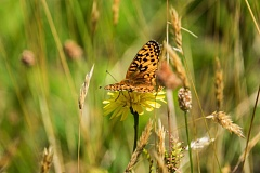 COURTESY PHOTO: KATHY STREET/OREGON ZOO - An Oregon silverspot butterfly alights in a meadow atop Mount Hebo. Oregon Zoo conservationists released hundreds of the silverspots in an attempt to boost the declining population.