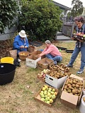 Volunteers picked hundreds of peers and apples that would have otherwise gone to waste.