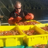 SUBMITTED PHOTO - Jeff Eells sorts through spot prawns.