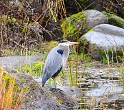 CONTRIBUTED PHOTO: CYNTHIA ETTER - Local photographer Cynthia Etter snapped this shot of a Great Blue Heron the evening of Thursday, March 9.