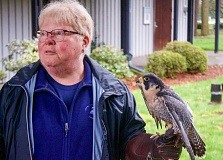 OUTLOOK PHOTO: CHRIS KEIZUR - Nancy Fraser, a volunteer with Portland Audubon, holds Finnegan the Peregrine Falcon.