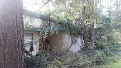 REVIEW PHOTO: GARY M. STEIN - A hundred foot tall fir came down across three homes on Hill Way. Renter Nicole Ferebee was the only one home at the time, and said no one was hurt when limbs smashed through a front window.